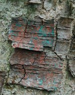 Old Birch Bark